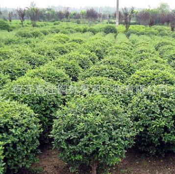 基地批发小叶黄杨 瓜子 黄杨 黄杨树 四季常青绿篱绿化