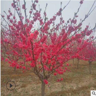 绿化苗木基地大量现货供应 优质红叶碧桃小苗 紫叶碧桃树苗规格全