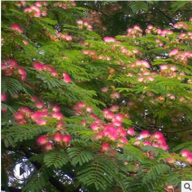基地批发合欢树苗 绿化苗木工程 合欢树绒花树苗 规格齐全