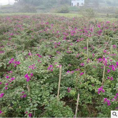 供应三角梅盆栽 小红盆三角梅 四季红三角梅花色齐全