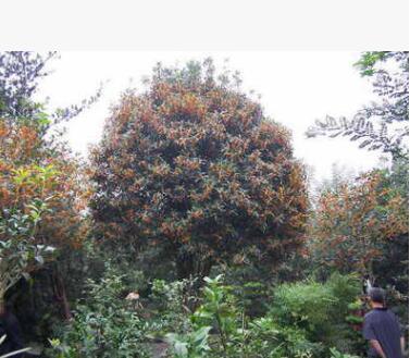 桂花树 规格种类齐全