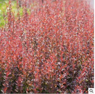紫叶小檗批发2019红叶小檗庭院园林绿化工程苗木常绿树苗园艺园林