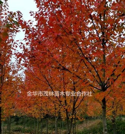 金华茂林供应美国红枫《十月光辉红冠王红福》