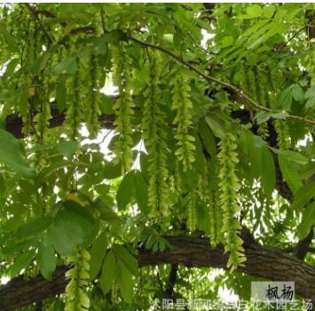 基地枫杨树 绿化工程 枫杨树销售 行道树规格齐全枫杨量大优惠