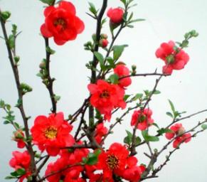 日本海棠花盆栽花卉花苗 植物盆景树桩长寿冠海棠7年大苗 树形好