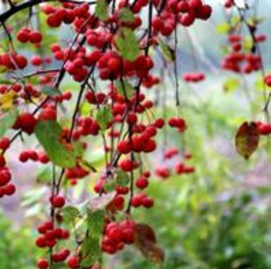 高杆红巴伦海棠种植基地,春季之美与你分享
