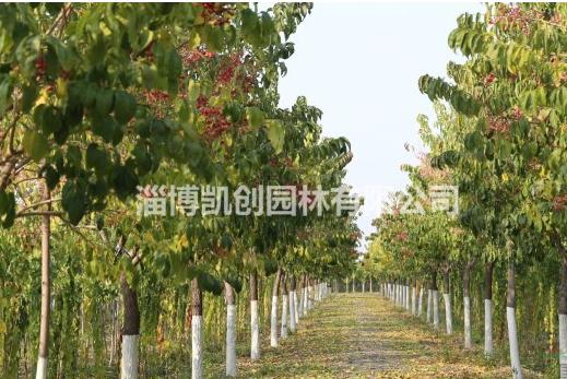 大量供应丝棉木,大叶丝棉木,丝绵木,卫矛科景观树