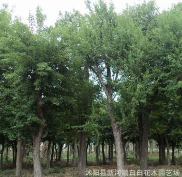批发榔榆树 榆树造型盆景 白榆 榆树小苗工程绿化行道树榆树桩
