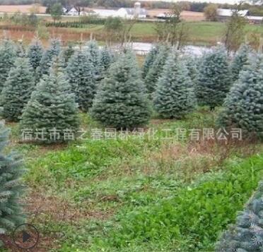 云杉树苗批发圣诞节专用挪威云杉树苗工程绿化苗木杉树苗