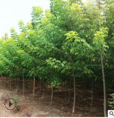 复叶槭树苗绿化苗木四季常青行道点缀庭院观赏量大从优树苗