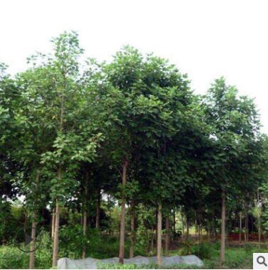 马褂木树苗工程绿化苗木速生鹅掌楸 园林精品盆栽