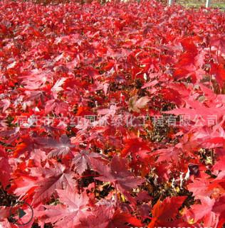 美国红枫树苗绿化苗木色块绿篱庭院观赏行道点缀量大从优红枫树苗