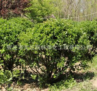 大叶黄杨球绿化苗木色块绿篱四季常青行道点缀量大从优大叶黄杨球