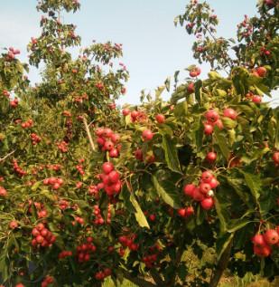 大金星山楂苗 甜红子山楂苗 1-5公分大量有货 自家纯正的山楂苗