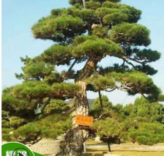 基地批发日本黑松 园林绿化乔木 造型黑松 规格齐全 欢迎咨询