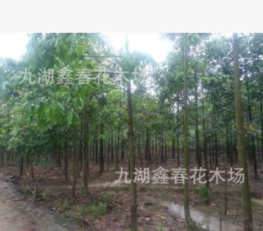 出售火焰木 澳洲火焰木价格 漳州火焰木种植基地