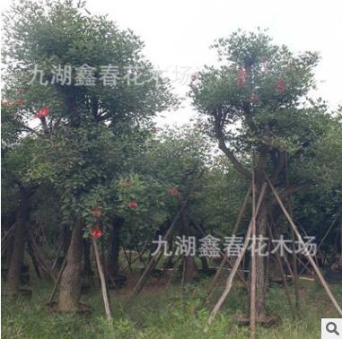 供应鸡冠刺桐批发 3-30公分 漳州绿化苗木价格观花露地常绿行道树
