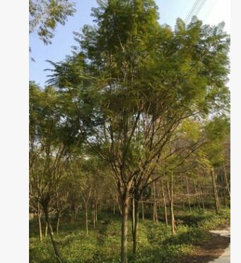 供应蓝花楹10-20公分,绿化常用行道树种