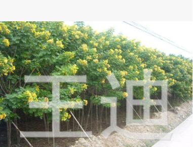 供应黄花槐3-10公分地苗/袋苗 产地直销