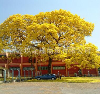 黄金风铃木苗 巴西风铃木庭院别墅校园种植行道树