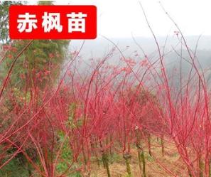 工程绿化苗木 基地赤枫树苗 规格齐全 赤枫 小苗 根系发达树苗