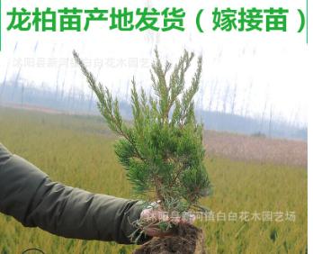龙柏小苗批发小龙柏 龙柏树工程绿化小苗龙柏苗四季常青龙柏树