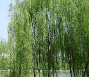 绿化苗木直销 柳树苗 垂柳树苗 垂柳苗 速生竹柳苗批发 规格齐全