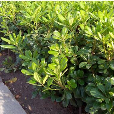海桐 地被 工程绿化 绿化苗木 园艺 园林 苗圃 庭院 树木