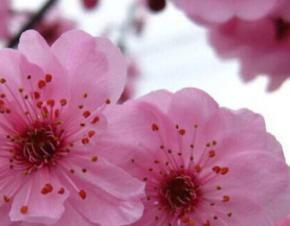 美人梅 绿化树苗 花灌木 基地直销批发价格 观花观叶植于庭院路旁