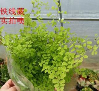铁线蕨 盆栽 室内盆栽花卉 净化空气四季常青铁线蕨花苗