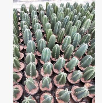 铁柱仙人柱 仙人掌沙生植物多肉绿植景观漳州产地直销批发