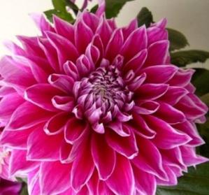 苗圃直销 盆栽花卉种球 超大花朵 绚丽花色 大丽花种球 大丽菊种