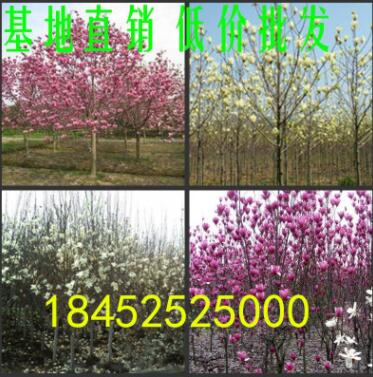 批发玉兰小苗 红紫白黄色玉兰树苗 1米以高苗圃基地直销