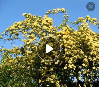 批发庭院 攀缘爬藤 植物花卉 木香花苗 十里香 藤类植物 攀援植物