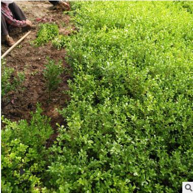 基地批发小叶黄杨 瓜子黄杨 黄杨苗 绿篱绿化园林工程苗 规格齐全