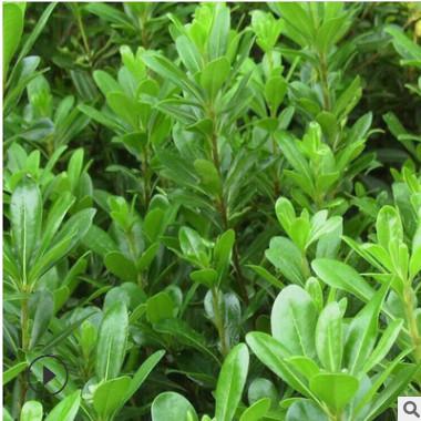海桐树苗 庭院绿化树苗 绿篱笆 植物围墙 海桐苗四季常青气味芳香