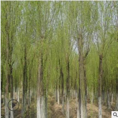 供应直柳绿化植物 直柳树苗各种规格 优质柳树苗直柳 量大优惠