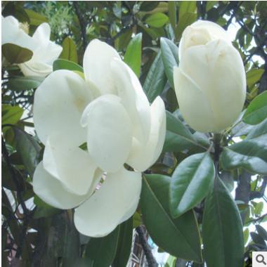 基地直销广玉兰 庭院植物玉兰苗 广玉兰苗 庭院花卉苗木玉兰树苗