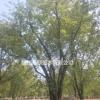 河北石家庄供应茶条槭