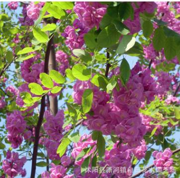 批发紫穗槐 紫穗槐绿篱用 规格齐全 30-80cm紫穗槐 园林绿化护坡