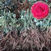 工程大花观赏玫瑰大苗 昆明产地批发观花植物玫瑰月季苗现挖现发