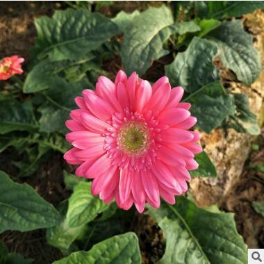 非洲菊种苗批发 园林绿化扦插扶郎苗四季开花鲜切花小苗量大从优