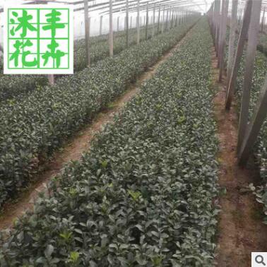 绿化苗木冬青卫矛 长期供应冬青卫矛小苗 工程绿化植物
