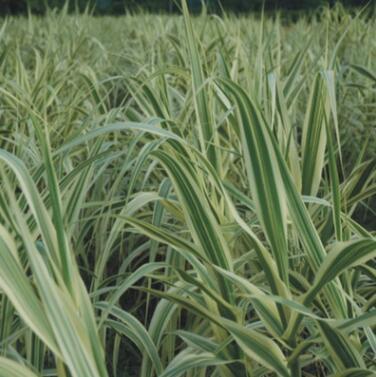 花叶芦苇批发 批发芦苇 基地直供 重庆水生植物