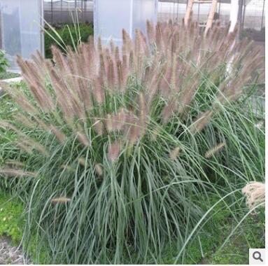 狼尾草批发 基地直供 重庆水生植物 固堤防沙植物 园林植物
