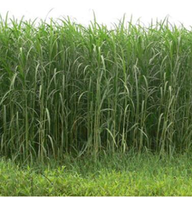 荻批发 基地直供 重庆水生植物 秋景植物 园林绿化植物 水生植物