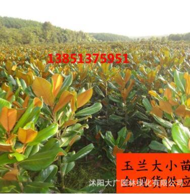 大量现货绿化工程苗嫁接玉兰紫玉兰白玉兰开花黄玉兰花批发绿化树