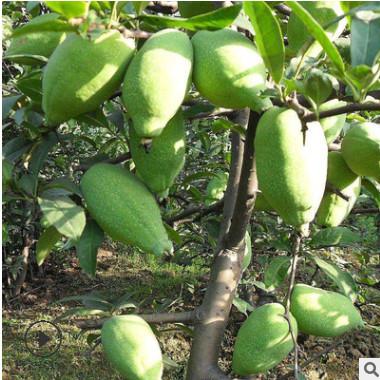 木瓜苗木瓜树苗南北方种植盆栽果树苗皱皮天香木瓜当年结果价格优