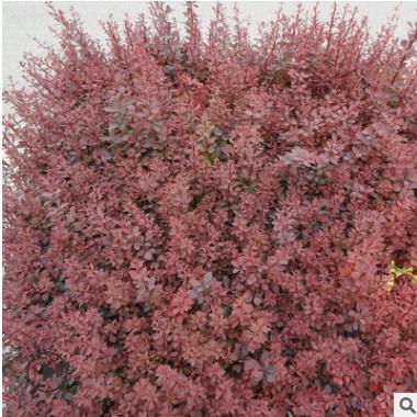 基地直销红叶小檗球红叶小檗四季常青庭院绿化阳台庭院 规格齐全