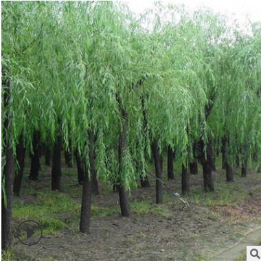 基地批发 黄金柳园林苗木 金丝垂柳常绿乔木 垂柳小树 柳树枝条